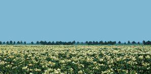 Avebe-actueel-aardappelveld
